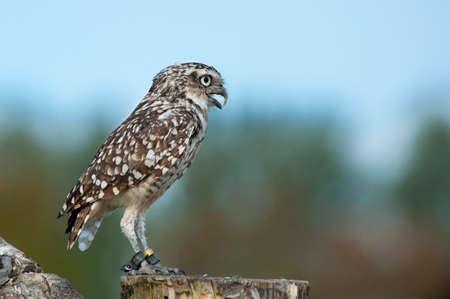 burrowing: Close up of Burrowing Owl (Athene cunicularia)