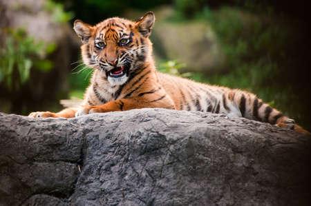 Cute sumatran tiger cub laying on a rock photo