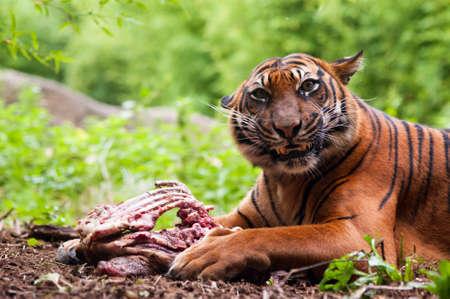 sumatran tiger: Sumatran tiger eating its prey on the forest floor