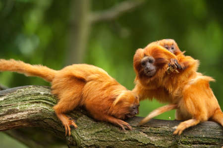 cute golden lion tamarins with baby (Leontopithecus rosalia)  Фото со стока
