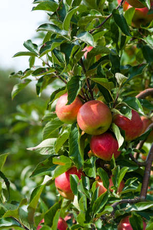 close up of an Apple tree in autumn