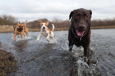 cute dogs: Labrador Retriever and friends having fun in the water Stock Photo