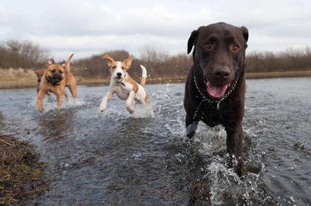 mujer perro: Labrador Retriever y amigos que se divierten en el agua Foto de archivo