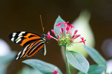 longwing: heliconius xanthocles longwing butterfly on a flower Stock Photo