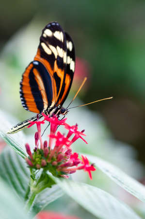 heliconius xanthocles longwing butterfly on a flower Standard-Bild