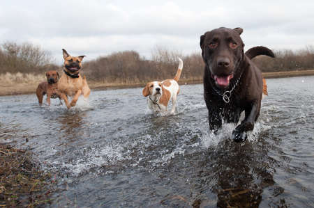 spring training: Labrador Retriever and friends having fun in the water Stock Photo