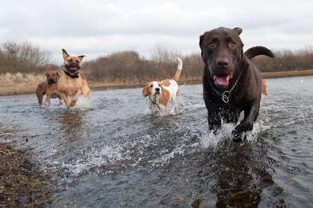 dog days: Labrador Retriever y amigos que se divierten en el agua Foto de archivo