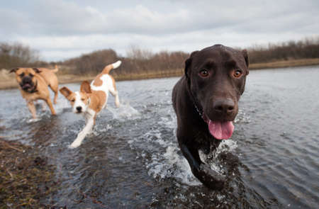 Labrador Retriever and friends having fun in the water Zdjęcie Seryjne - 8989961