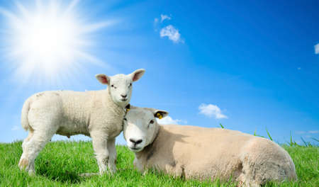 Mother sheep and her lamb in spring, Friesland The Netherlands photo