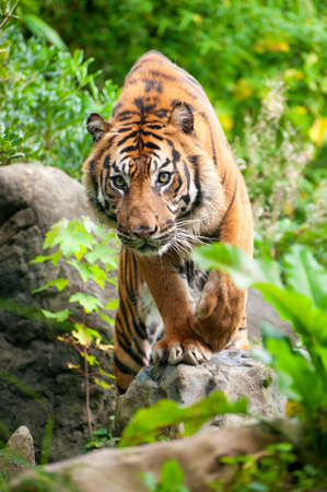 close up of a Sumatran tiger in the forest Stock Photo - 9270629