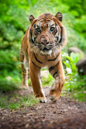 close up of a Sumatran tiger in the forest