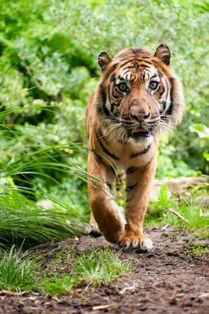 sumatran tiger: close up of a Sumatran tiger in the forest