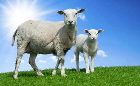 Pecora madre e suo agnello in primavera, Frisia, The Netherlands
