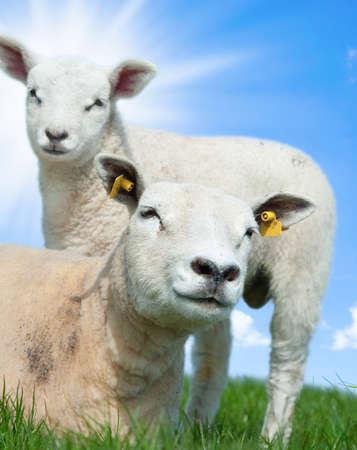Mutter Schafe und ihre Lamm im Frühjahr, Friesland Niederlande Lizenzfreie Bilder