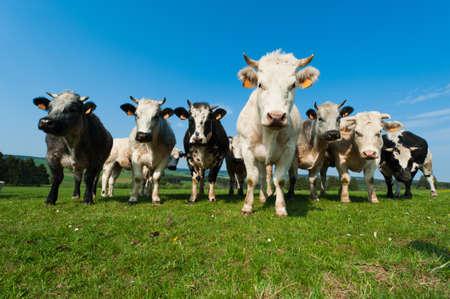 Vacas de en tierras de cultivo en las Ardenas, Bélgica