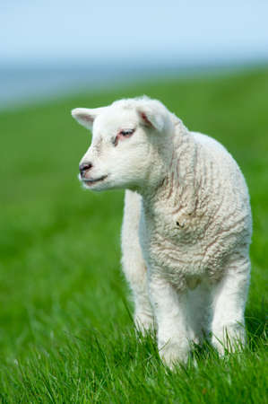 cute lamb in spring, The Netherlands Standard-Bild