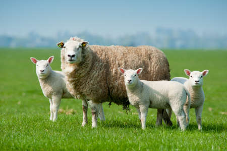 Mother sheep and her lambs in spring, The Netherlands Stock fotó
