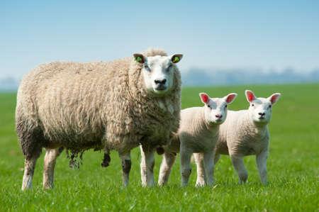 Mutter Schafe und ihre Lämmer im Frühjahr, Niederlande Lizenzfreie Bilder