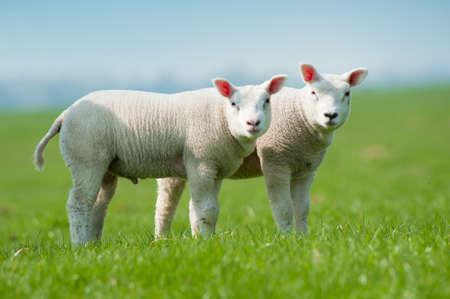 cute Lämmer im Frühjahr, Niederlande