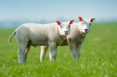 cute lambs in spring, The Netherlands