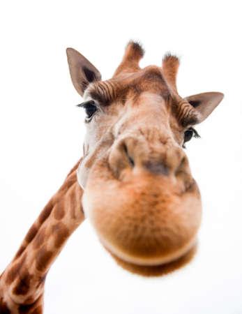 jirafa: Primer plano de una jirafa divertida sobre un fondo blanco Foto de archivo
