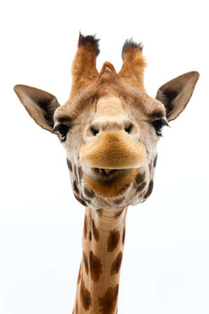 white background giraffe: Close-up of a Funny Giraffe on a white background