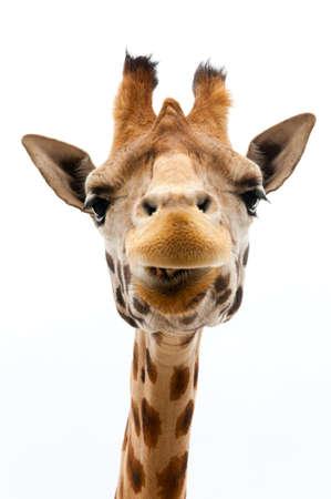 jirafa fondo blanco: Primer plano de una jirafa divertida sobre un fondo blanco Foto de archivo