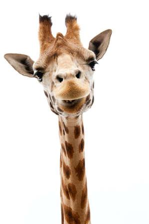 Close-up von einem Lustige Giraffe auf wei?em Hintergrund Lizenzfreie Bilder - 9749439