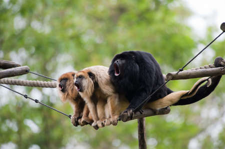 howler monkeys vocalizing on a rope Фото со стока