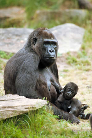 close-up of a mother gorilla and her cute baby Stock Photo - 9993683