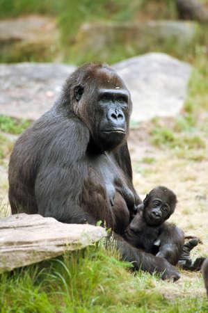 Nahaufnahme von einer Mutter, Gorilla und ihr s??es Baby Lizenzfreie Bilder