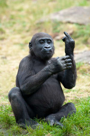 Funny image of a young gorilla sticking up its middle finger Фото со стока