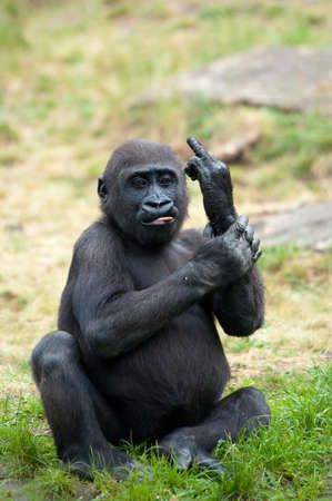 Funny image of a young gorilla sticking up its middle finger Foto de archivo