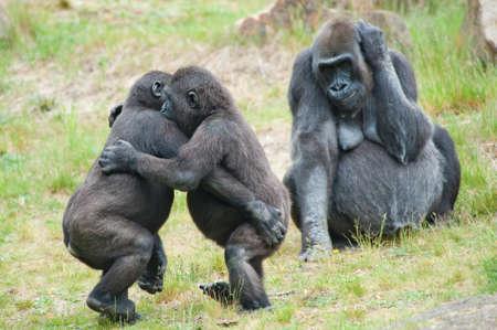 Dos gorilas jóvenes bailando mientras la madre está mirando