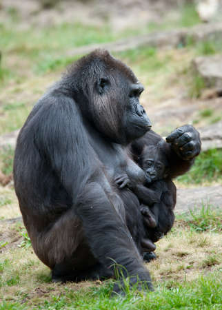 close-up of a mother gorilla and her cute baby Stock Photo - 9993675