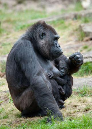 close-up of eine Mutter und ihre niedlichen Baby gorilla