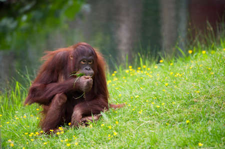 cute orangutan on the grass Stock Photo - 9993690