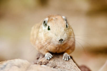gundis are unusual rodents from north africa Stock Photo - 9993659