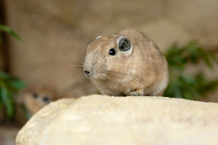 gundis are unusual rodents from north africa Stock Photo - 9993663