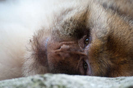 portrait of a Barbary Macaque (Macaca sylvanus)