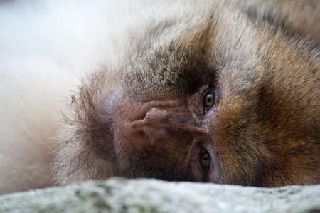 portrait of a Barbary Macaque (Macaca sylvanus) Stock Photo - 9993692
