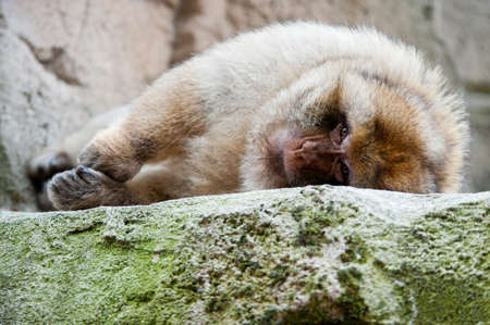 portrait of a Barbary Macaque (Macaca sylvanus)