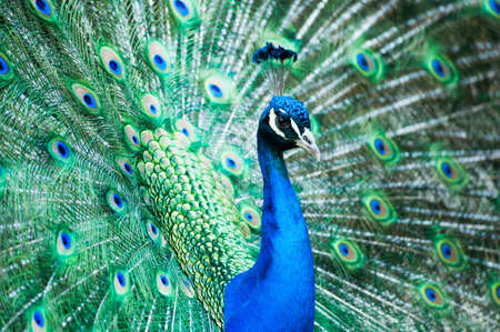 beautiful male indian peacock showing its feathers (Pavo cristatus) Zdjęcie Seryjne