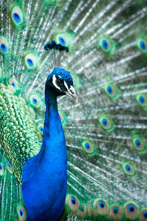beautiful male indian peacock showing its feathers (Pavo cristatus) Фото со стока