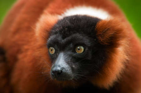a beautiful red ruffed lemur (Varecia rubra)