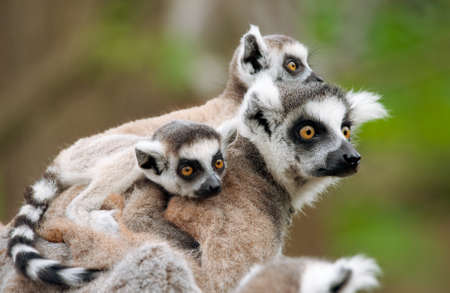 close-up of a ring-tailed lemur with her cute babies (Lemur catta)