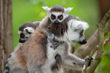 close-up of a ring-tailed lemur with her cute babies (Lemur catta) Stock Photo - 9993681