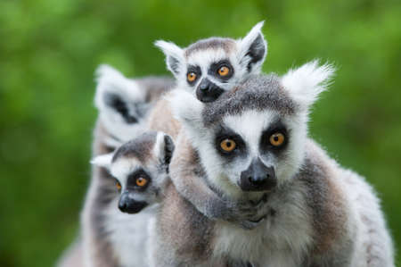그녀의 귀여운 아기 (여우 원숭이 catta)와 함께 ring-tailed 여우 원숭이의 근접 스톡 콘텐츠