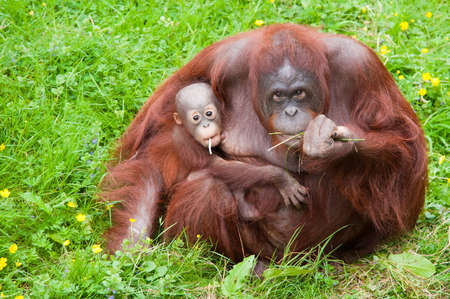 Mother orangutan with her cute baby in the grass Фото со стока