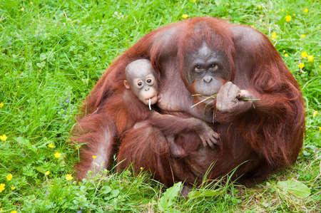 Orang-Utan-Mutter mit ihren niedlichen Baby im Gras